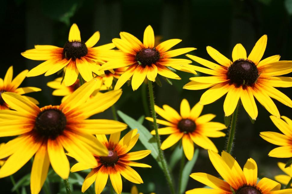 Download Free Stock Photo of Black-Eyed Susans Blooming in a Backyard Garden
