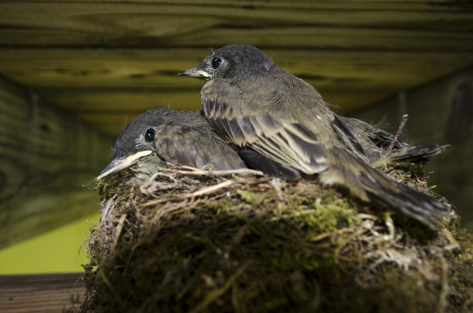 Download Free Stock Photo of Baby Sparrows in Nest
