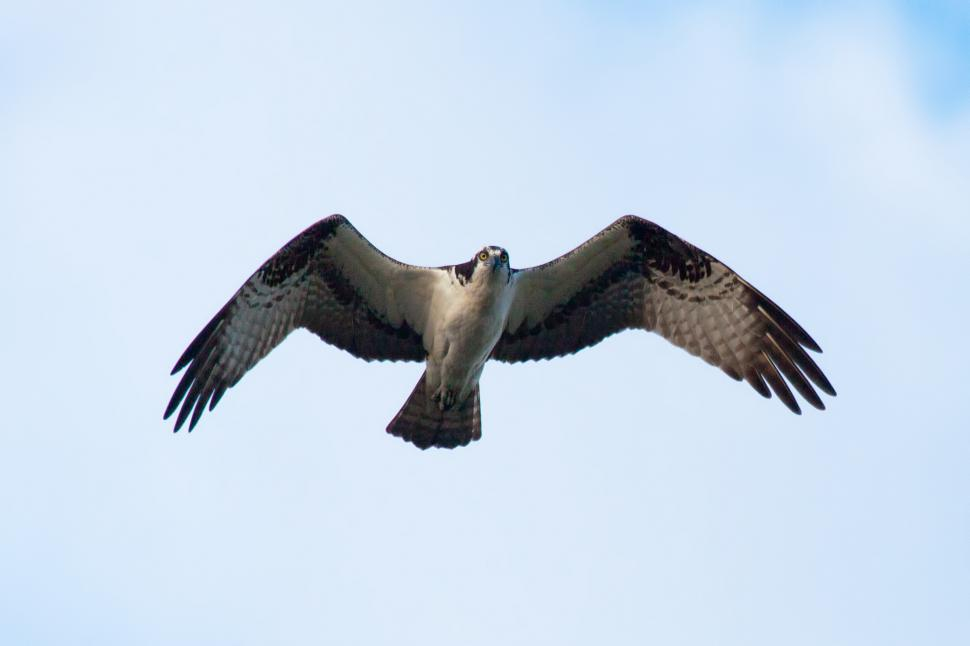 Download Free Stock Photo of Osprey