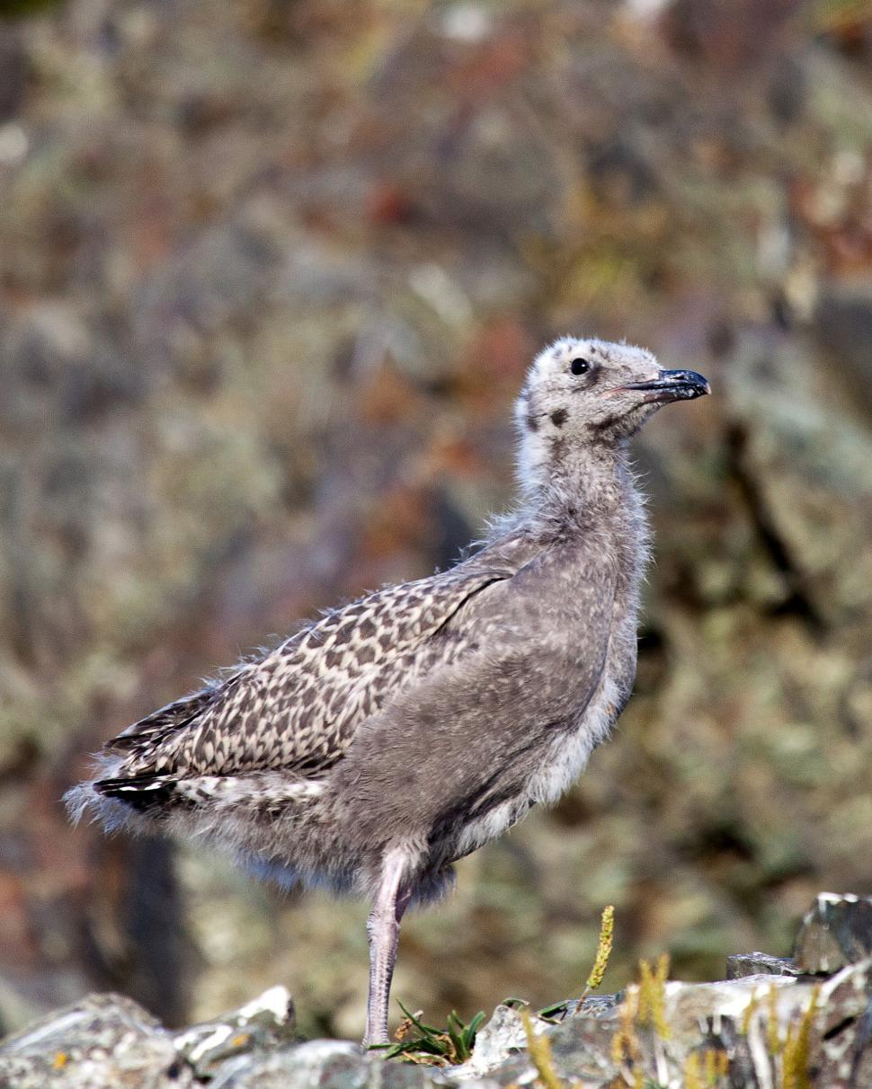 Download Free Stock Photo of Baby Gull