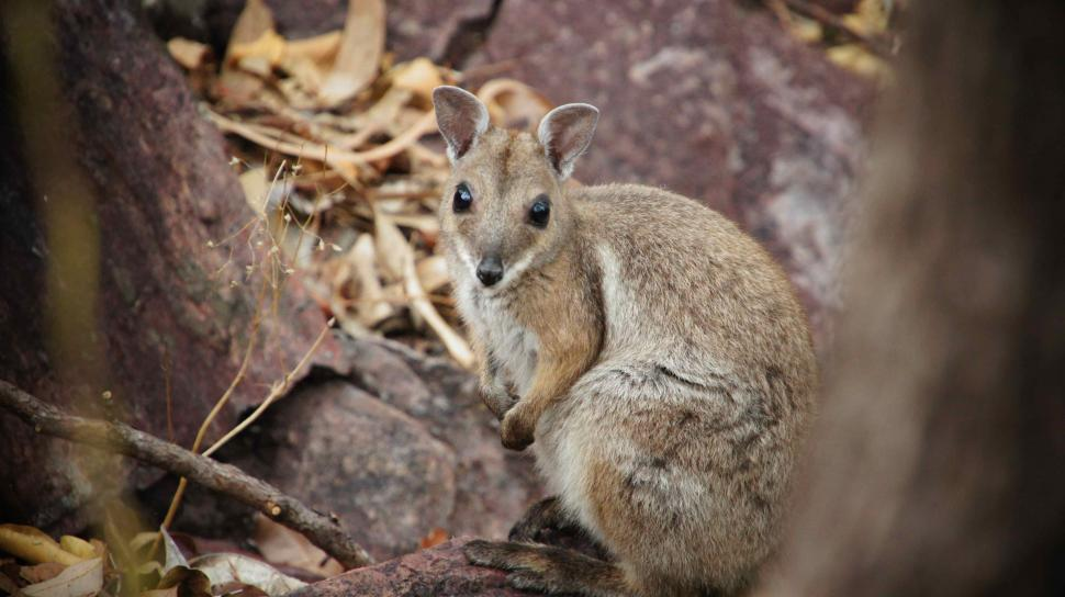 Download Free Stock Photo of Cute Wallaby