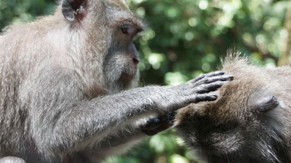 Download Free Stock HD Photo of Monkeys being Monkeys - Picking Nits Online