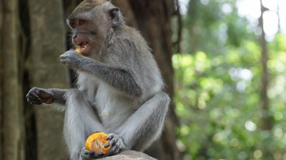 Download Free Stock Photo of Monkey Eating an Orange