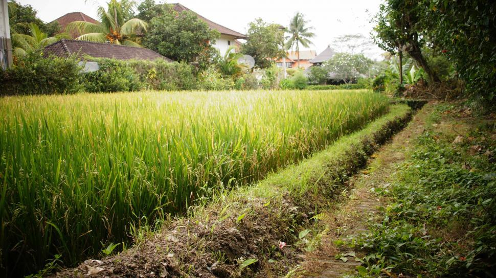 Download Free Stock Photo of Rice Fields in Bali
