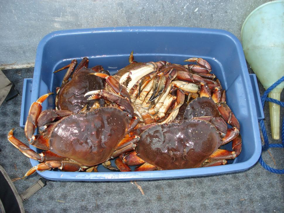 Download Free Stock HD Photo of Tub Full Of Freshly Caught Dungeness Crabs From The Pacific Ocean Online