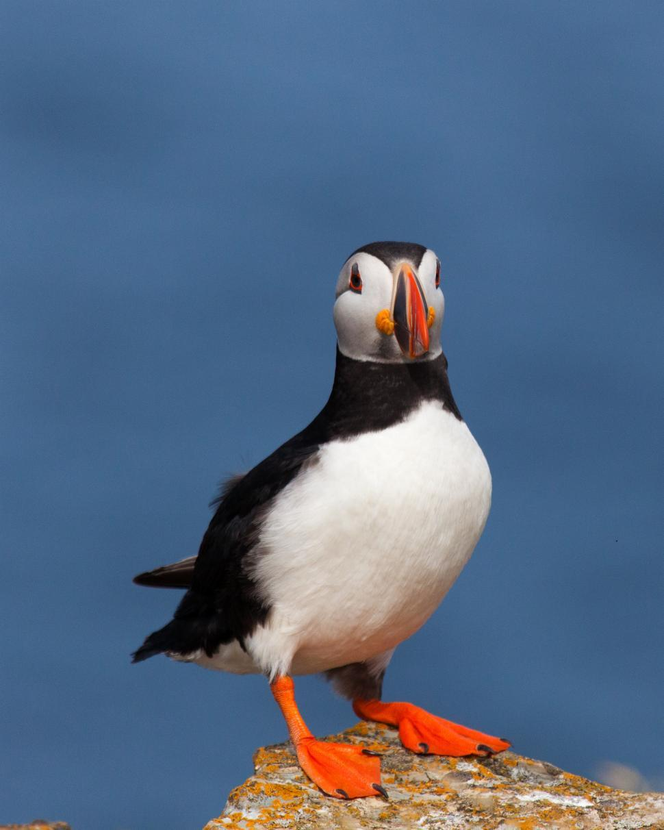 Download Free Stock Photo of Puffin