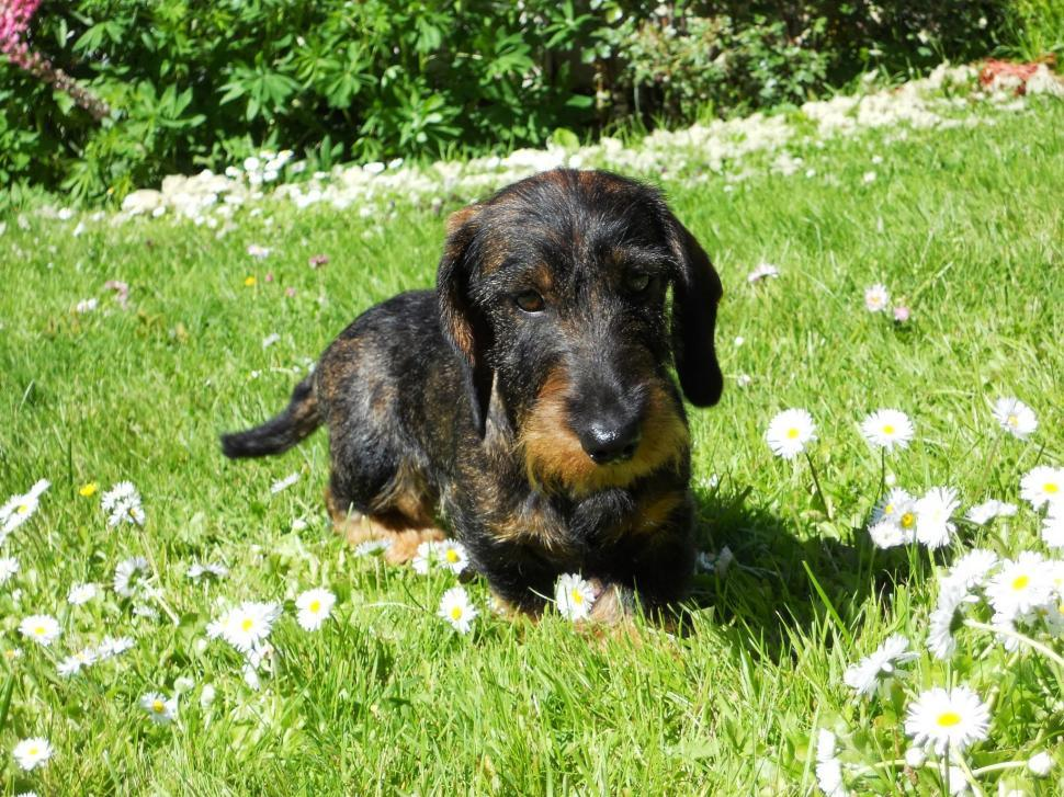 Download Free Stock Photo of Wire-haired miniature dachshund