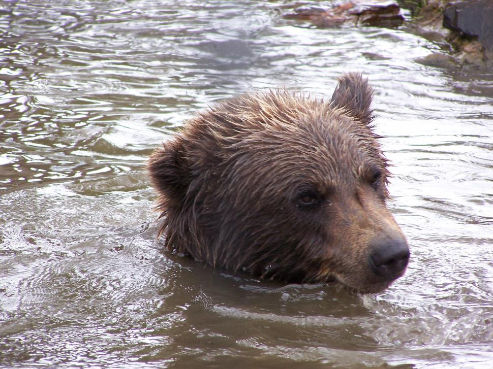 Download Free Stock Photo of Brown Bear Swimming