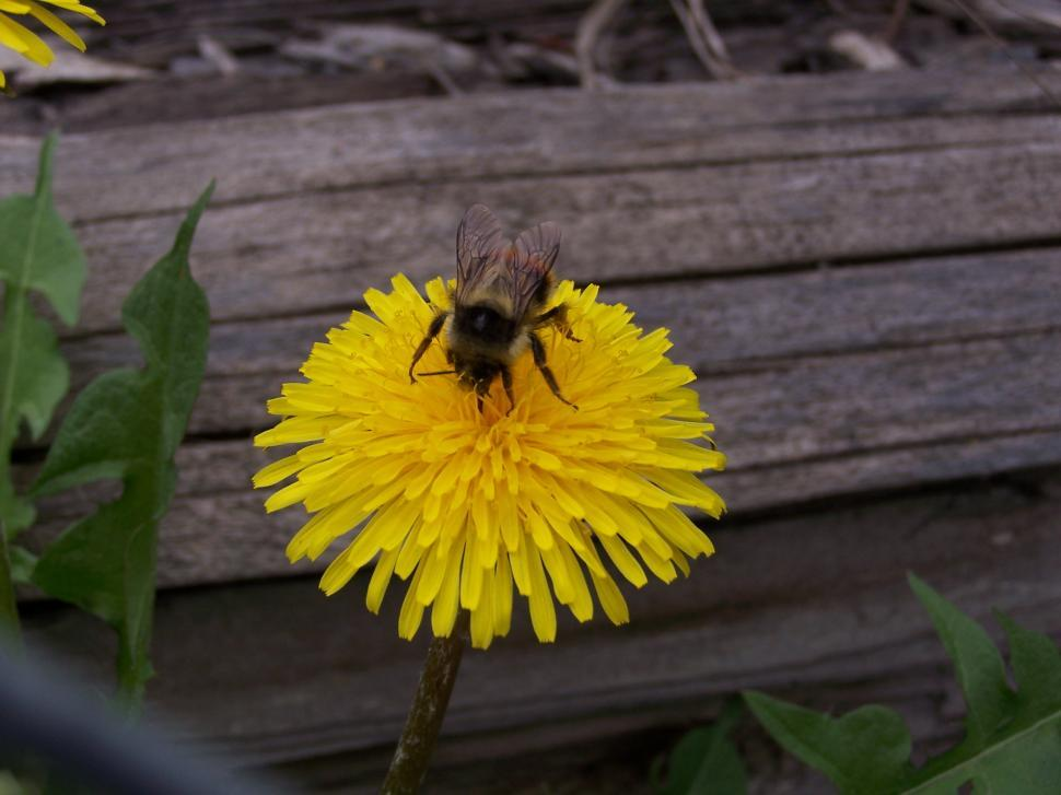 Download Free Stock Photo of Bumblebee on Dandelion