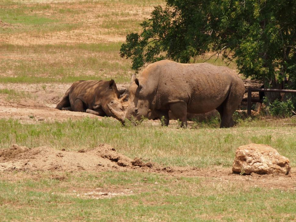 Download Free Stock Photo of Rhino at Fossil Rim