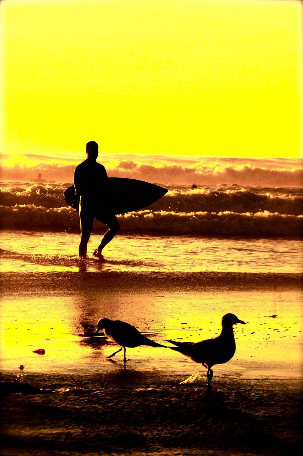 Download Free Stock Photo of Surfer emerges from a sunset Surf. Birds by the Ocean Beach