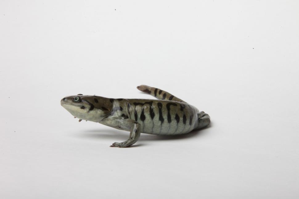 Download Free Stock Photo of Tiger Salamander