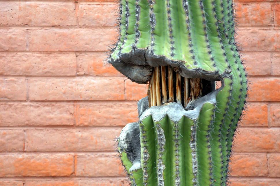 Download Free Stock HD Photo of Damaged saguaro cactus Online