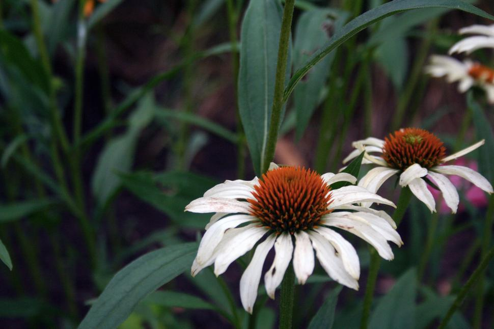 Download Free Stock Photo of White Coneflowers