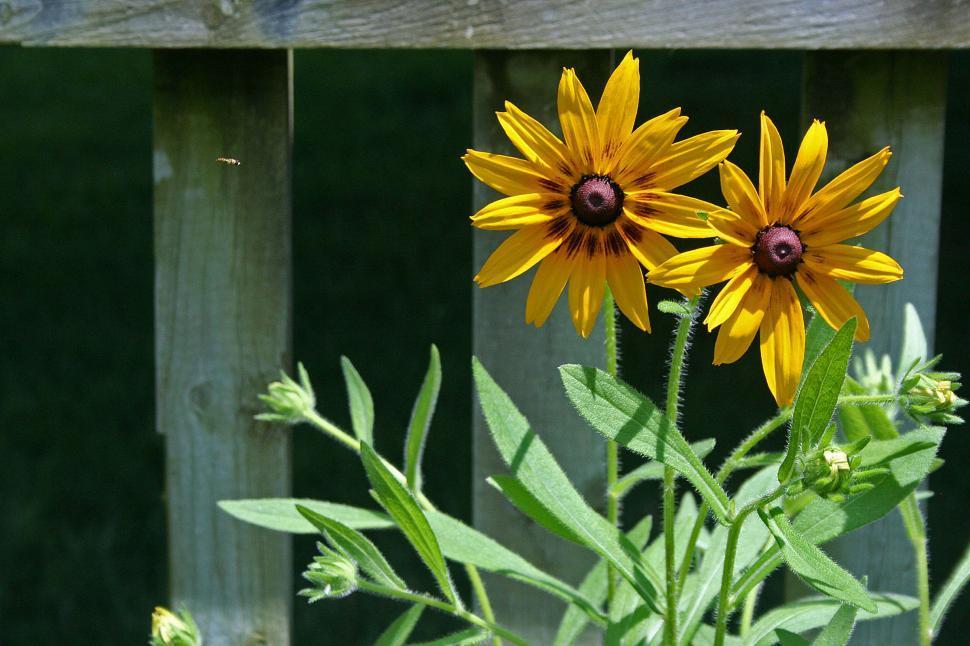 Download Free Stock HD Photo of Pair of Black-Eyed Susans in Bloom Online