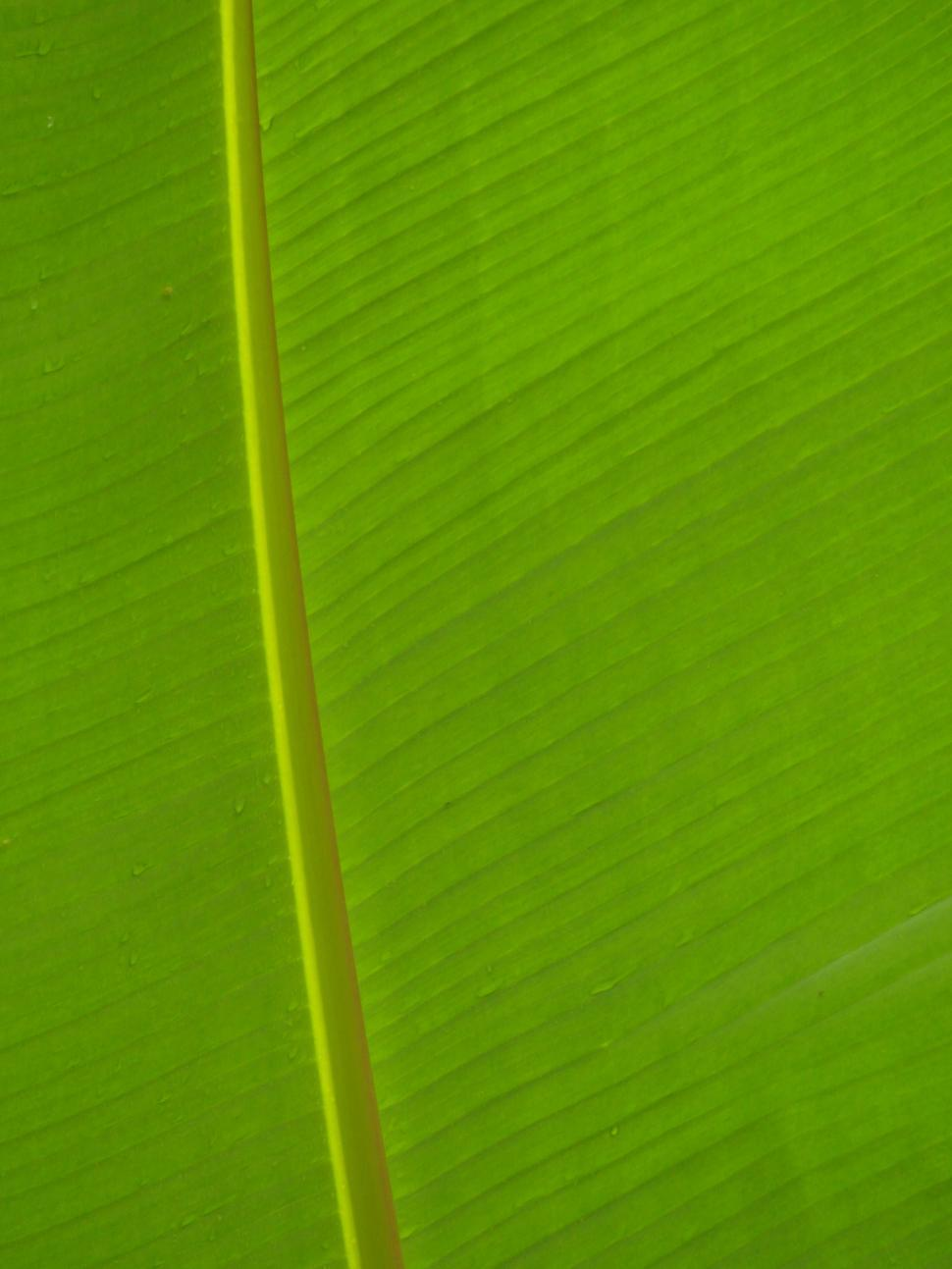 Download Free Stock Photo of Banana Leaf Background