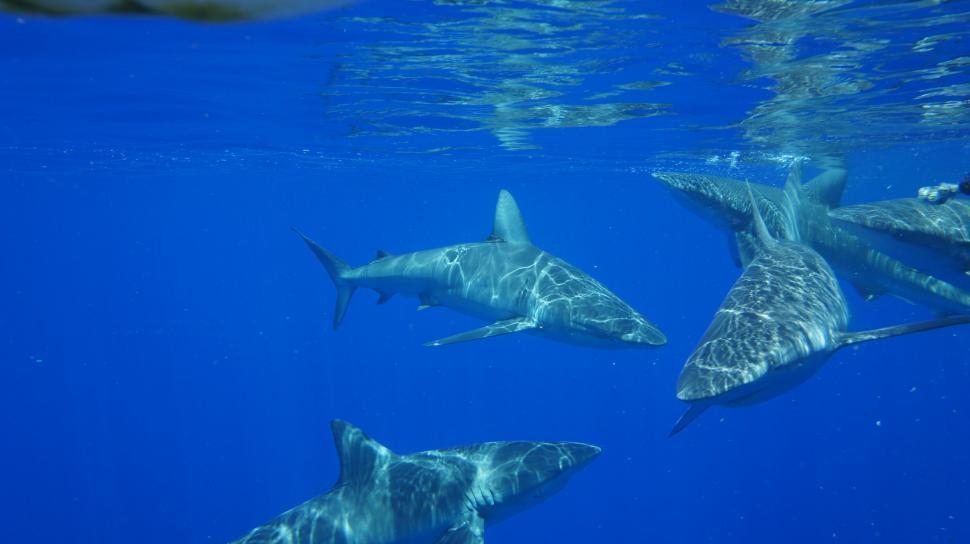 Download Free Stock Photo of Sharks Swimming Underwater
