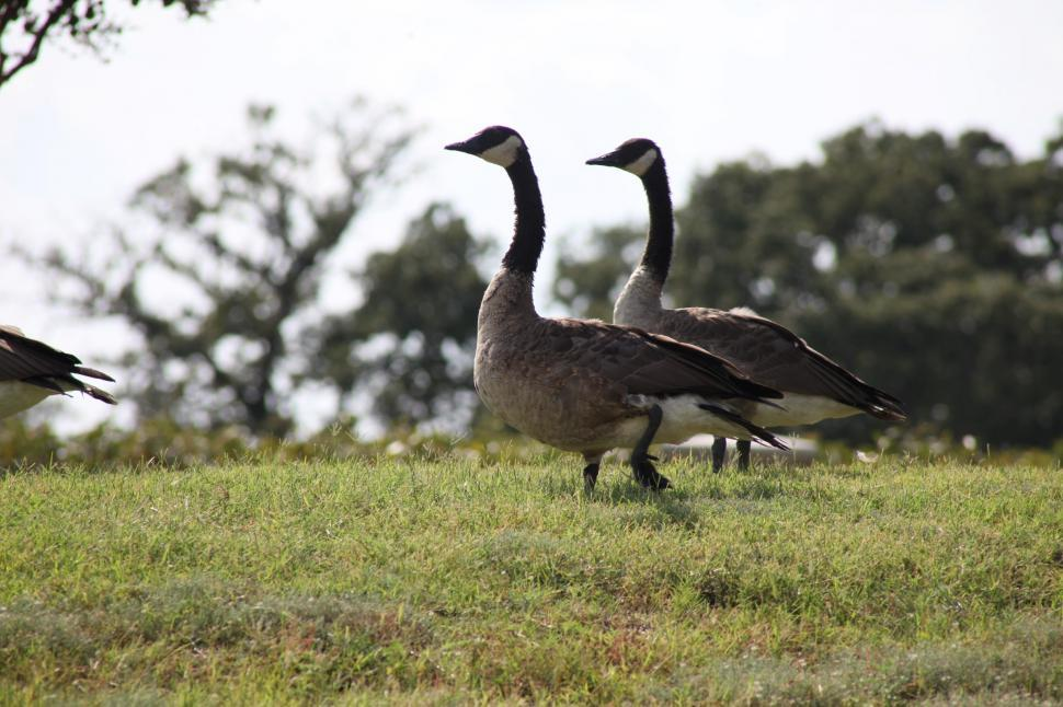 Download Free Stock HD Photo of Canadian Geese Online
