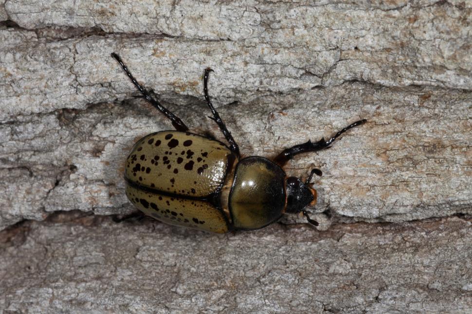 Download Free Stock Photo of Eastern Hercules Beetles