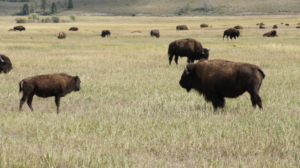 Download Free Stock HD Photo of Gathering Herd of Buffalo Online