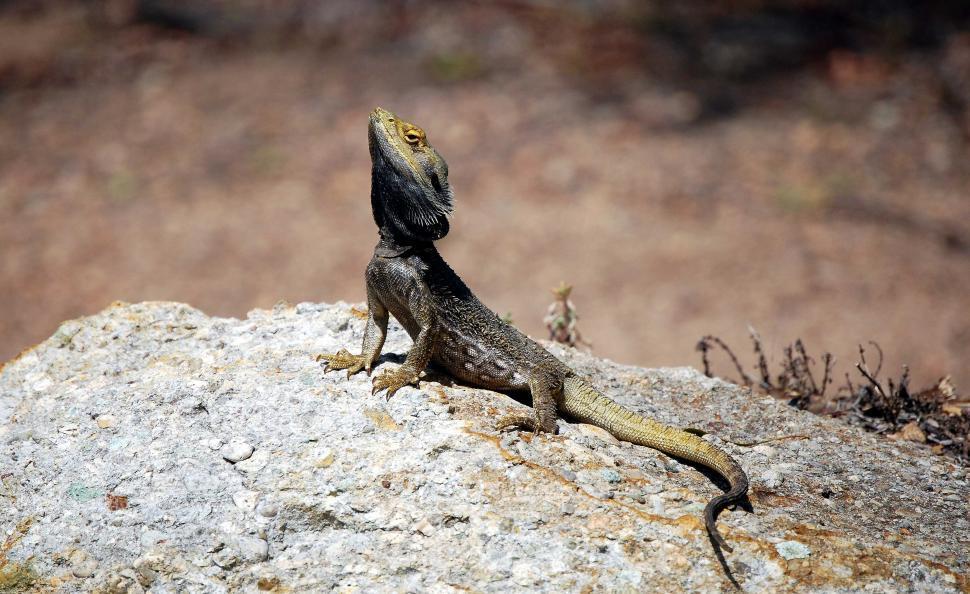 Download Free Stock Photo of Australian Frill-neck lizard