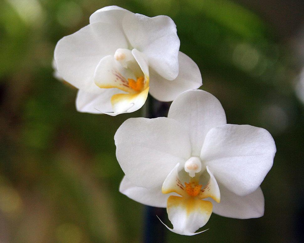 Download Free Stock Photo of Pair of white orchid flowers