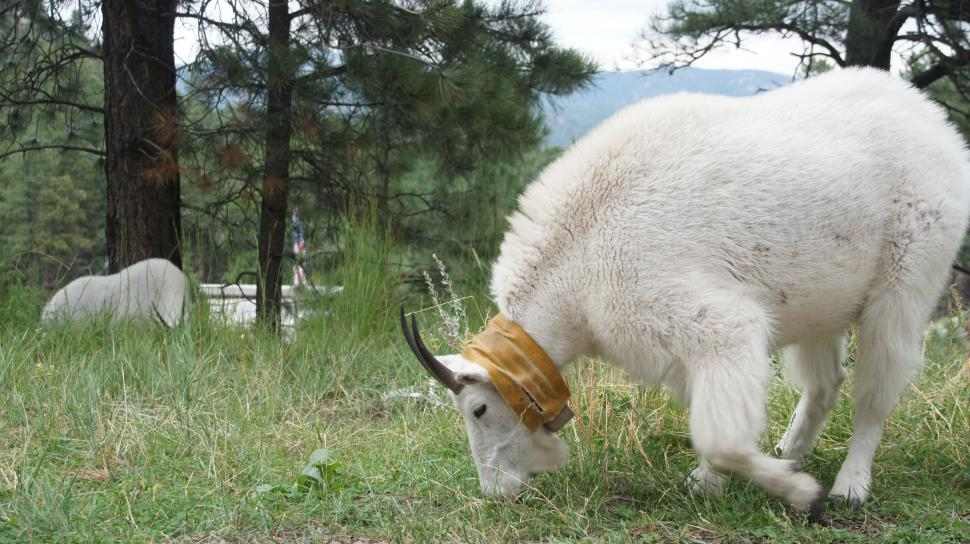 Download Free Stock Photo of Mountain Goats at Mt. Rushmore