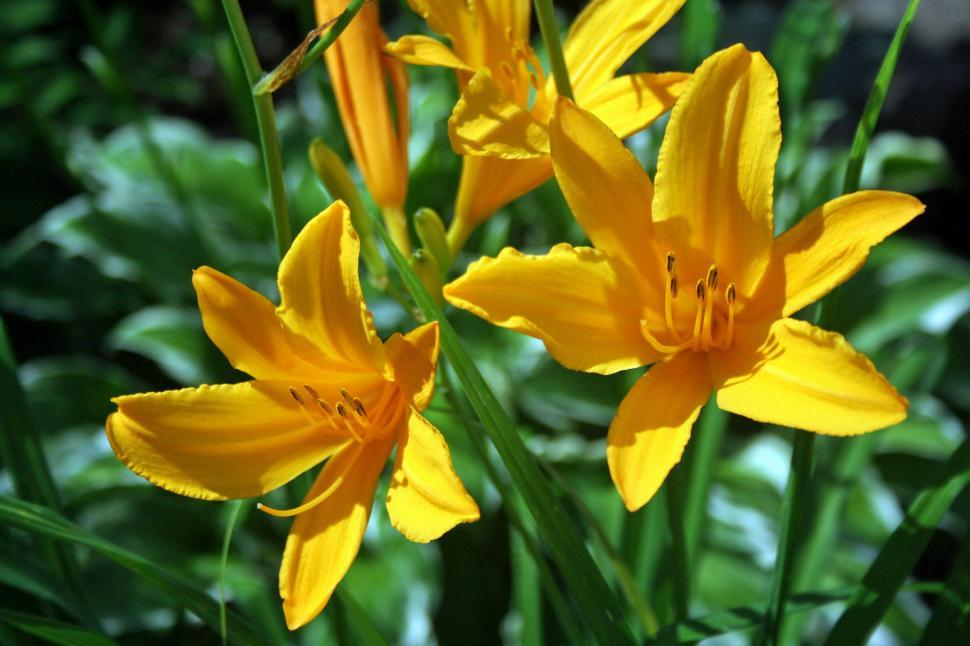 Download Free Stock Photo of Yellow day lily flowers