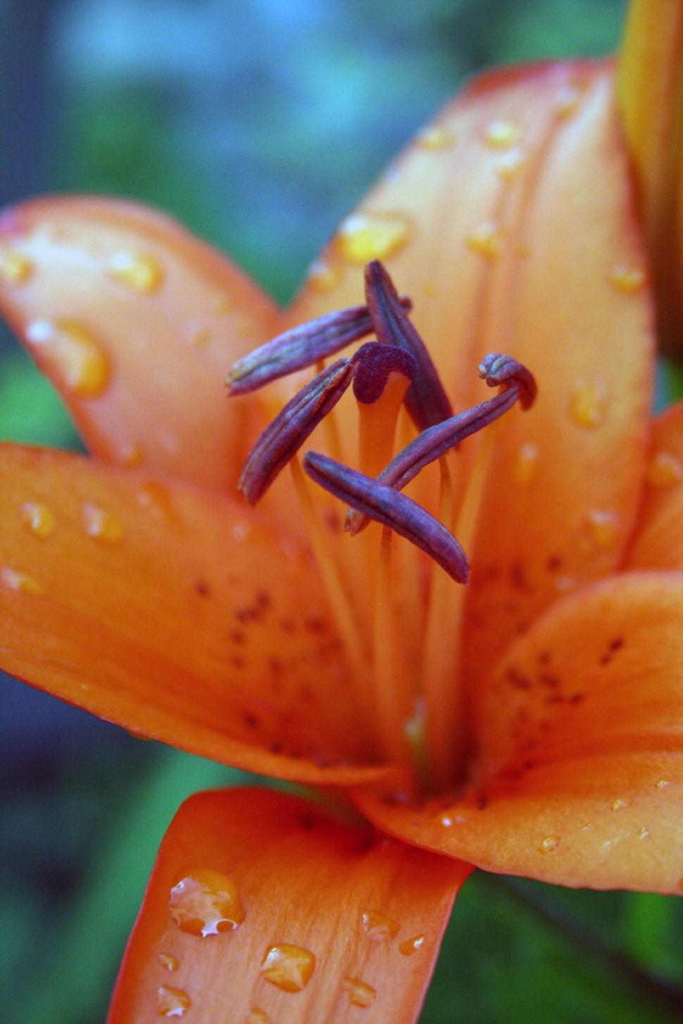 Download Free Stock Photo of Orange lily