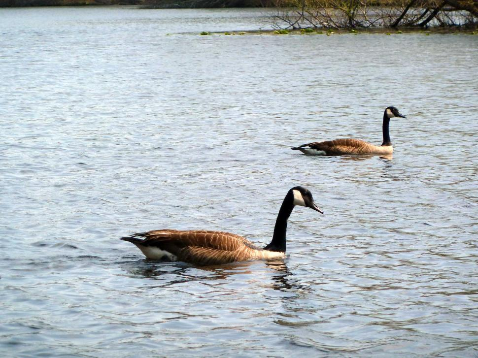Download Free Stock HD Photo of Canada Geese on the Turkey Swamp Lake Online