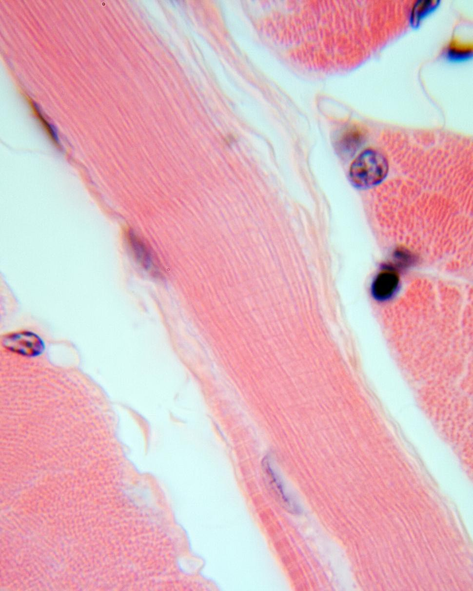 Download Free Stock Photo of Muscle