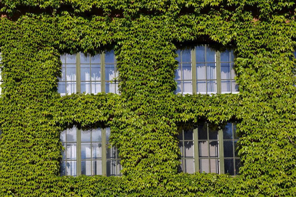 Download Free Stock Photo of Boston ivy