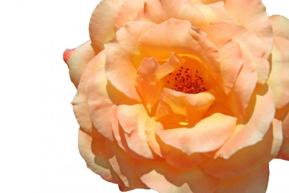 Download Free Stock HD Photo of Peach Rose Online