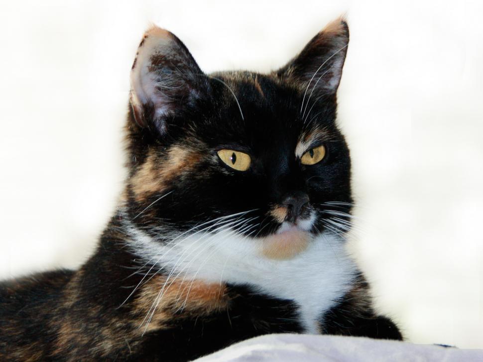 Download Free Stock HD Photo of Tricolor Female Cat Portraitanimals cat cats pet pets portrait background Online