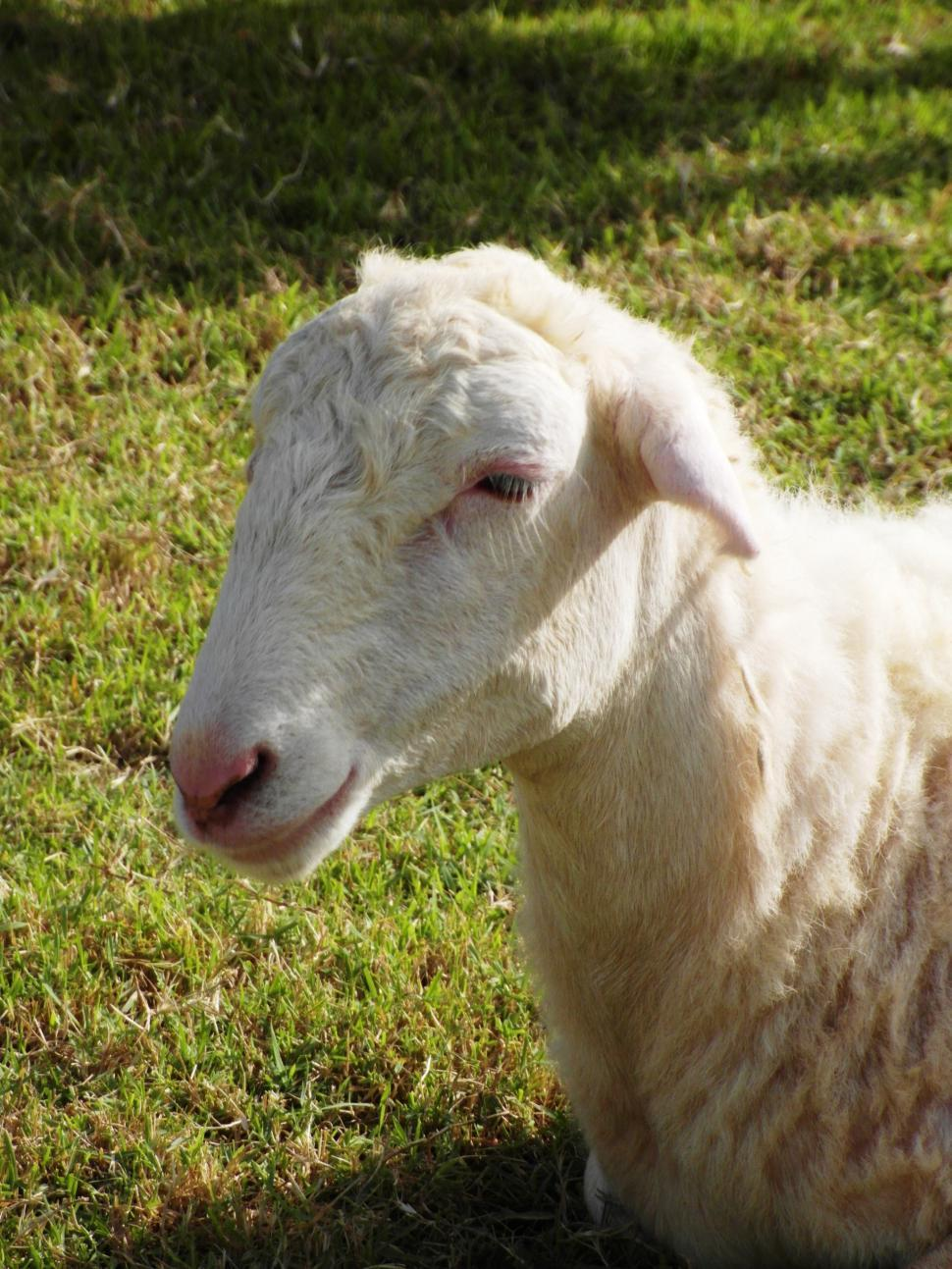 Download Free Stock HD Photo of Sheep Online