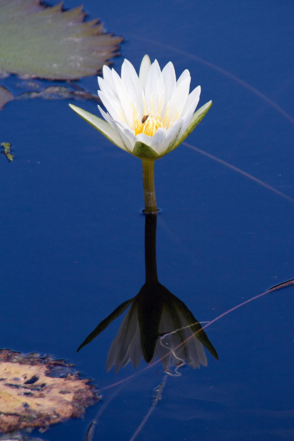 Download Free Stock HD Photo of Water Lilly Online