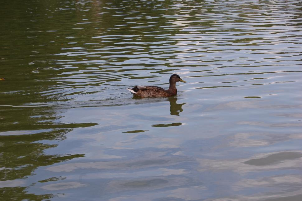 Download Free Stock Photo of The lonely duck