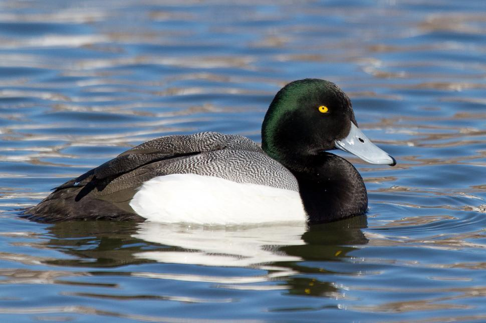 Download Free Stock HD Photo of Greater Scaup Online