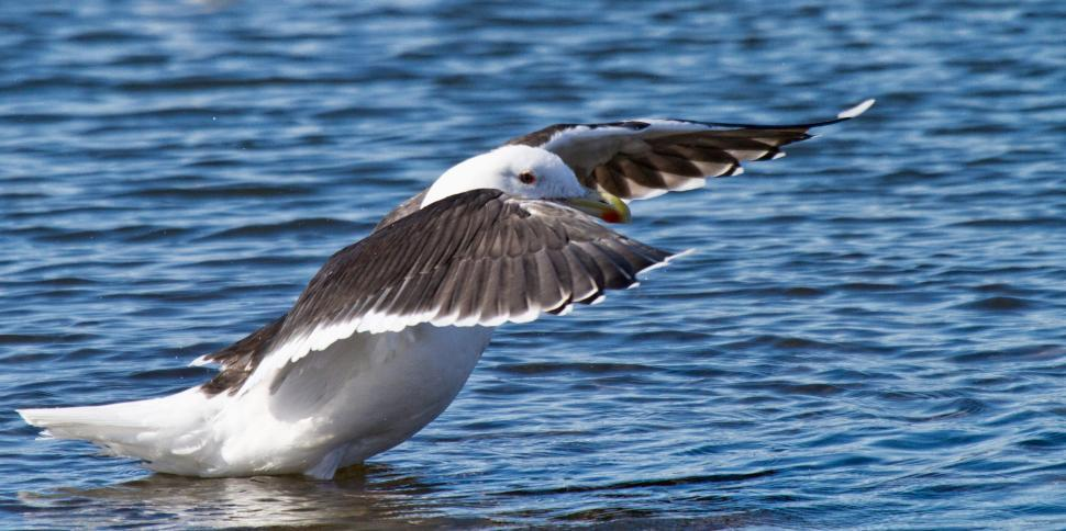 Download Free Stock Photo of Black-back Gull