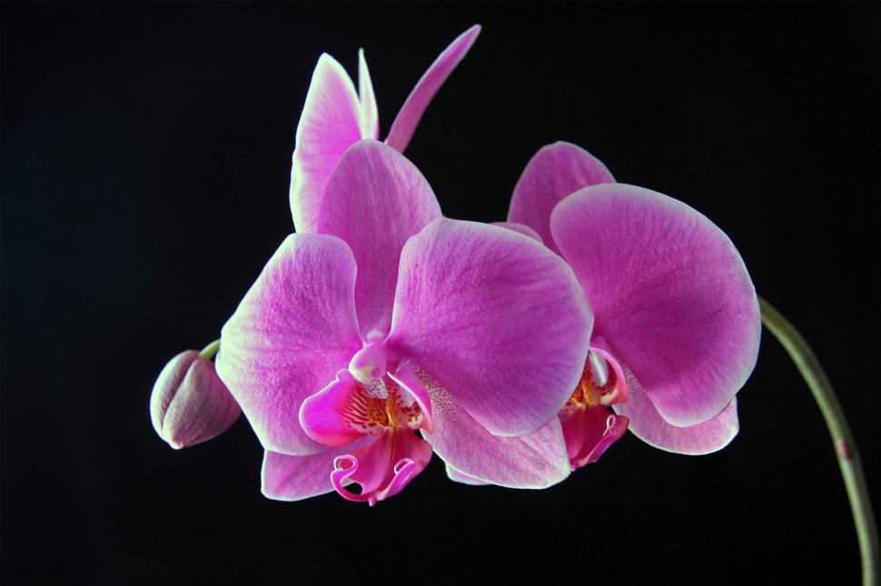 Download Free Stock Photo of Pink Orchid Flowers Bloom Cluster on Black Background