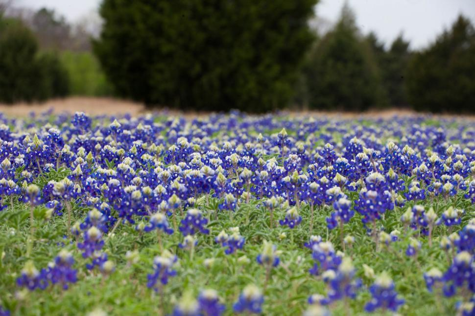 Download Free Stock Photo of Blue Bonnet flowers