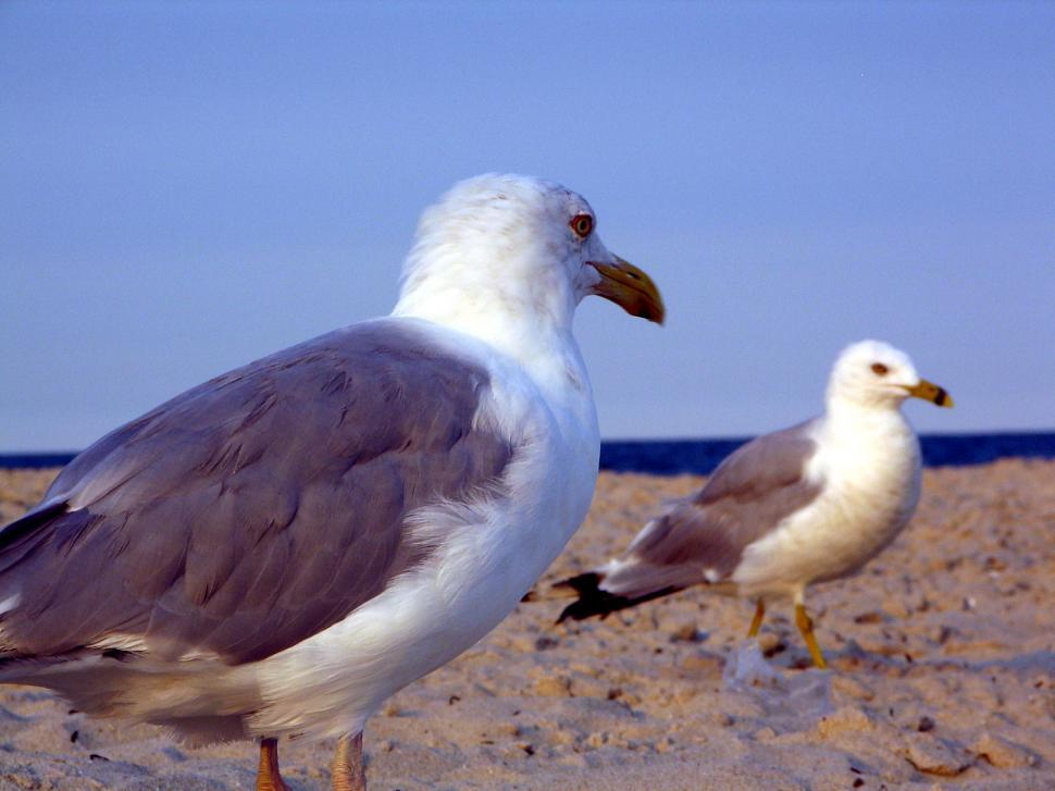 Download Free Stock Photo of gulls