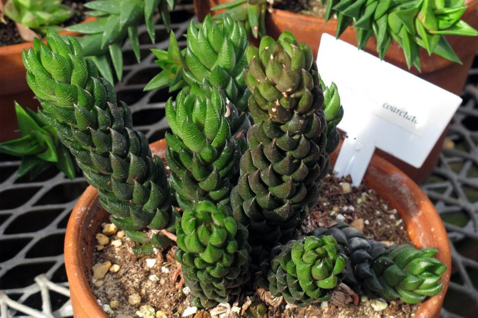 Download Free Stock Photo of Succulent Plant Haworthia Coarctata
