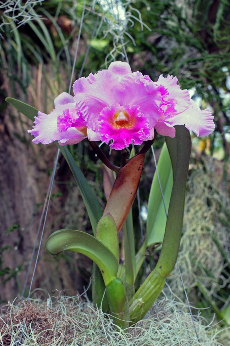 Download Free Stock HD Photo of Laeliocattleya Quo-Vadis Floralia Orchid Online