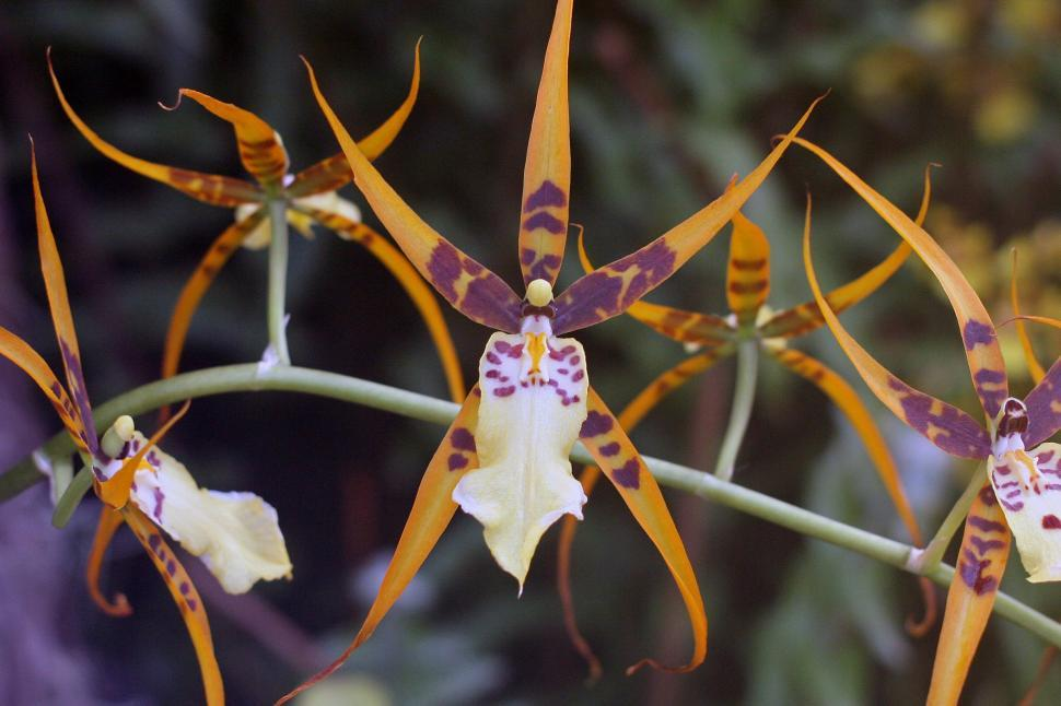 Download Free Stock Photo of Spider Orchids In Bloom