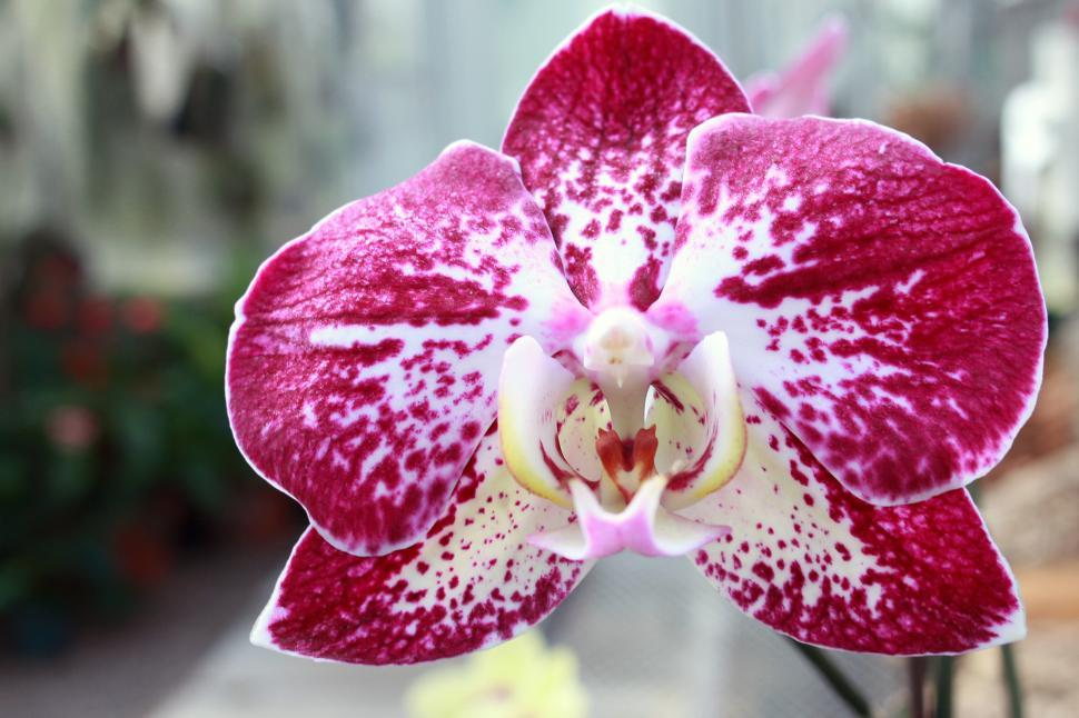Download Free Stock Photo of Phalaenopsis Orchid Flowers Closeup