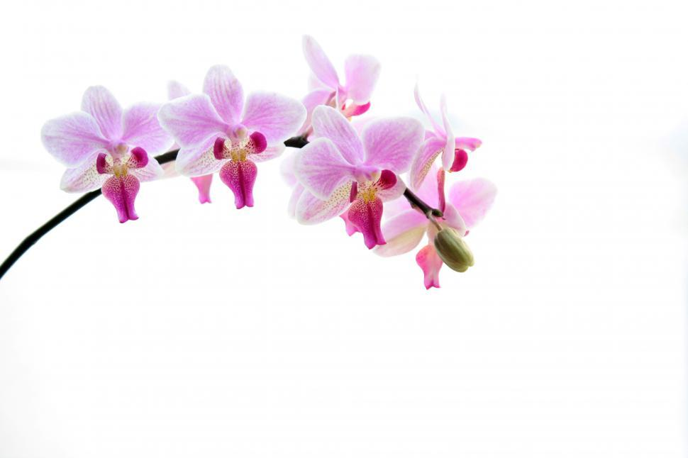 Download Free Stock HD Photo of Pink White Petal Phalaenopsis Orchid In Bloom Online