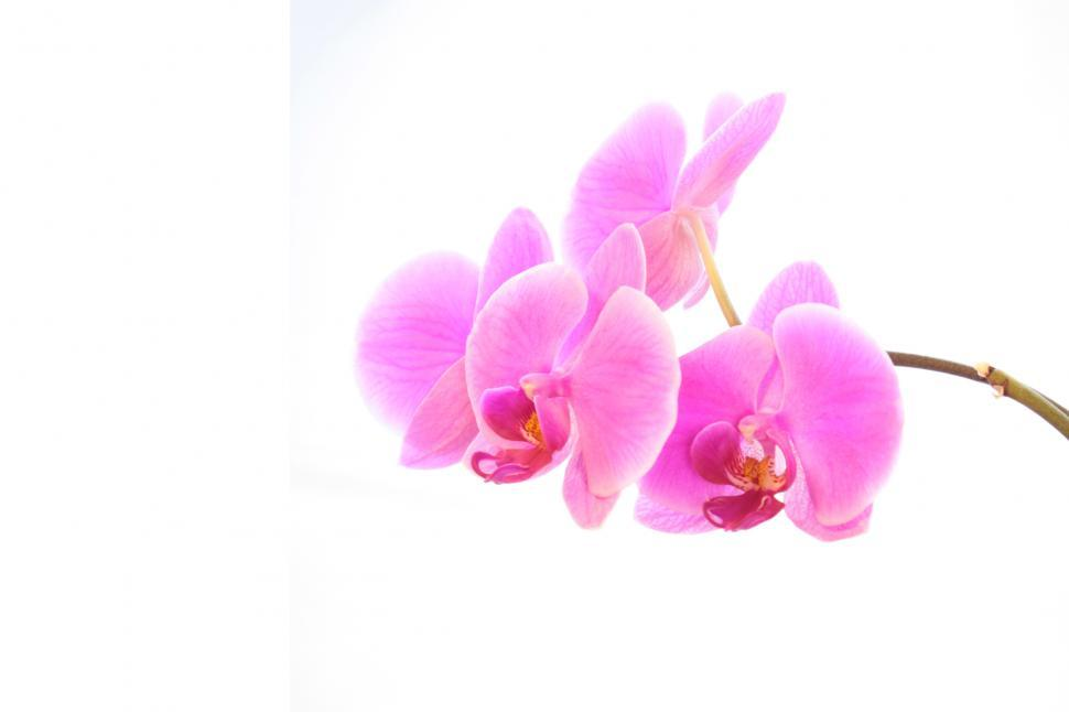 Download Free Stock Photo of PinkPhalaenopsis Orchid Flowers Wall Paper