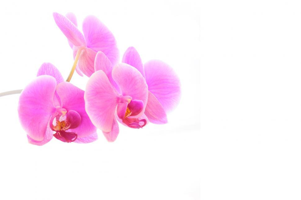 Download Free Stock Photo of Phalaenopsis Orchid Flowers Wallpaper