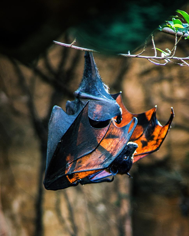Download Free Stock Photo of Bat